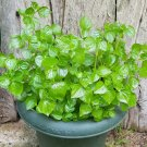 Rare Shiny Bush Crab Claw Herb Peperomia pellucida - 30 Seeds