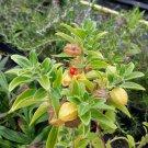 Organic Ashwagandha Herb Withania somnifera - 30 Seeds