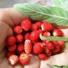 Heirloom Wild Woodland Strawberry Fragaria vesca - 50 Seeds