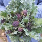 Early Heirloom Purple Sprouting Broccoli Brassica oleracea - 150 Seeds