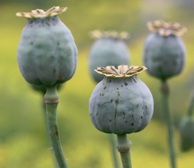 Giant Florist Pod Poppy Papaver Somniferum Giganteum - 100 Seeds