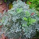 Organic Rue Herb of Grace Ruta graveolens  - 40 Seeds