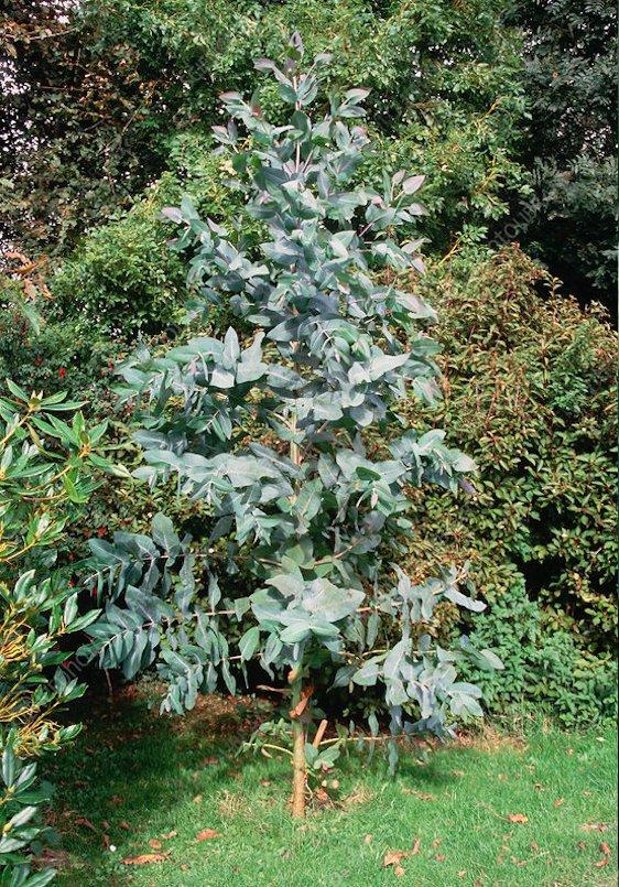 Tasmanian Blue Gum Eucalyptus globulus - 25 Seeds