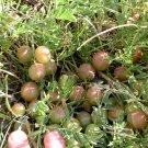 Wild Native Milkvetch Ground Plum Astragalus crassicarpus - 15 Seeds