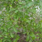 Henna Natural Dye Sacred Plant Lawsonia Inermis - 30 Seeds