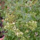Sacred Henna Natural Tattoo Plant Lawsonia Inermis - 30 Seeds