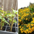 Magnificent Tree Marigold Tithonia Diversifolia - 3 Live Rooted Starter Plants