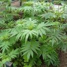 Organic Black Mint Huacatay Inca Herb Tagetes minuta - 50 Seeds