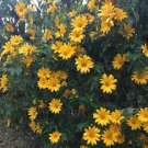 Magnificent Tree Marigold Bolivian Sunflower Tithonia Diversifolia - 5 Unrotted Cuttings