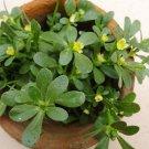 Heirloom Salad Purslane Organic Portulaca oleracea sativa - 100 seeds