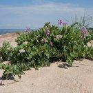 Rare! Wild Heirloom Beach Pea Lathyrus japonicus maritimus - 18 Seeds