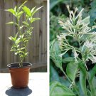 Fragrant Night-Blooming White Jasmine Cestrum nocturnum - 1 Live Plant