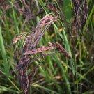 Organic Heirloom Black Forbidden Rice Plant Seeds Oryza sativa - 150 Seeds