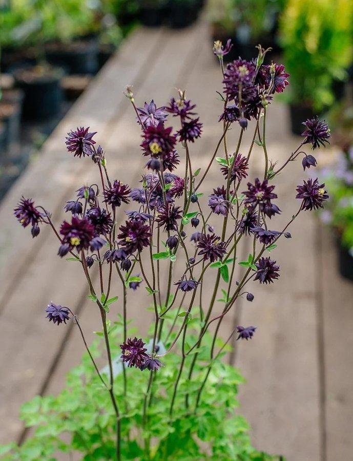 Goth Garden Flower Columbine 'Black Raven' Aquilegia vulgaris - 25 seeds