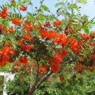 Scarlet Red Wisteria Shrub Sesbania punicea - 8 Seeds