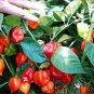 HOT! Heirloom Caribbean Red Habanero Chili Capsicum chinense - 20 Seeds