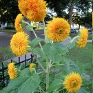 Full Double Sunflower Helianthus annuus - 30 Seeds