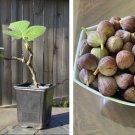 Fruiting Sugar Fig Celeste Ficus carica - 1 Live Plant