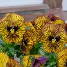 Unique Striped Pansy Eye of the Tiger Viola - 20 Seeds