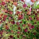 Brown Shades Bronze Queen Nicotiana langsdorffii - 100 Seeds