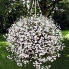 Lobelia White Lady Lobelia Erinus - 200 Seeds