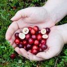 Wild Native Cranberry Vaccinium Macrocarpon – 25 Seeds