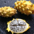 Golden Dragon Fruit Yellow Dragonfruit Selenicereus megalanthus - 15 Seeds