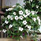 White Blooming Susan Vine Thunbergia alata alba - 10 Seeds