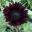 Unique Dark Sunflower Red Wave Helianthus annuus - 20 Seeds