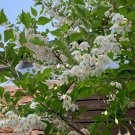 Japanese Snowbell Tree Hardy Styrax japonicus - 30 Seeds
