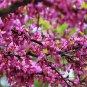 American Native Redbud Cercis canadenis - 8 Seeds
