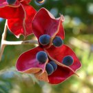 Exotic Black Pearl Tree Mgambo Rare Majidea Zanguebarica - 5 Seeds