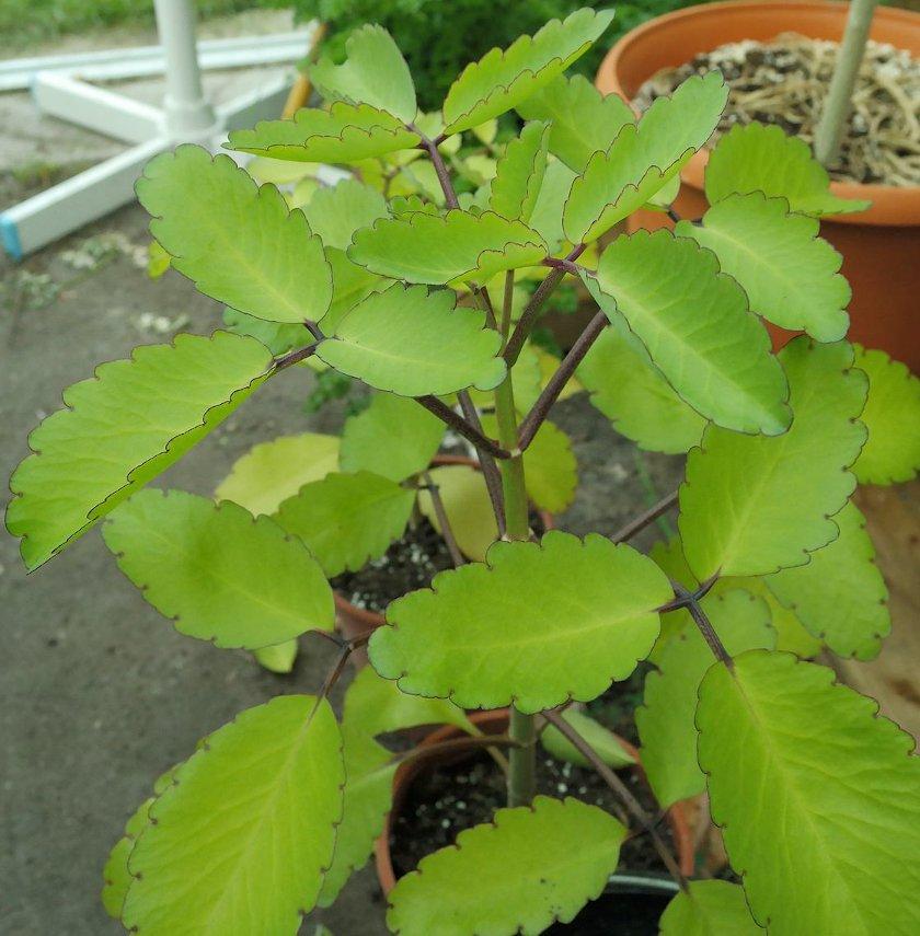 Cuttings! Medicinal Leaf Of Life Bryophyllum Kalanchoe - 3 Leaf Cuttings