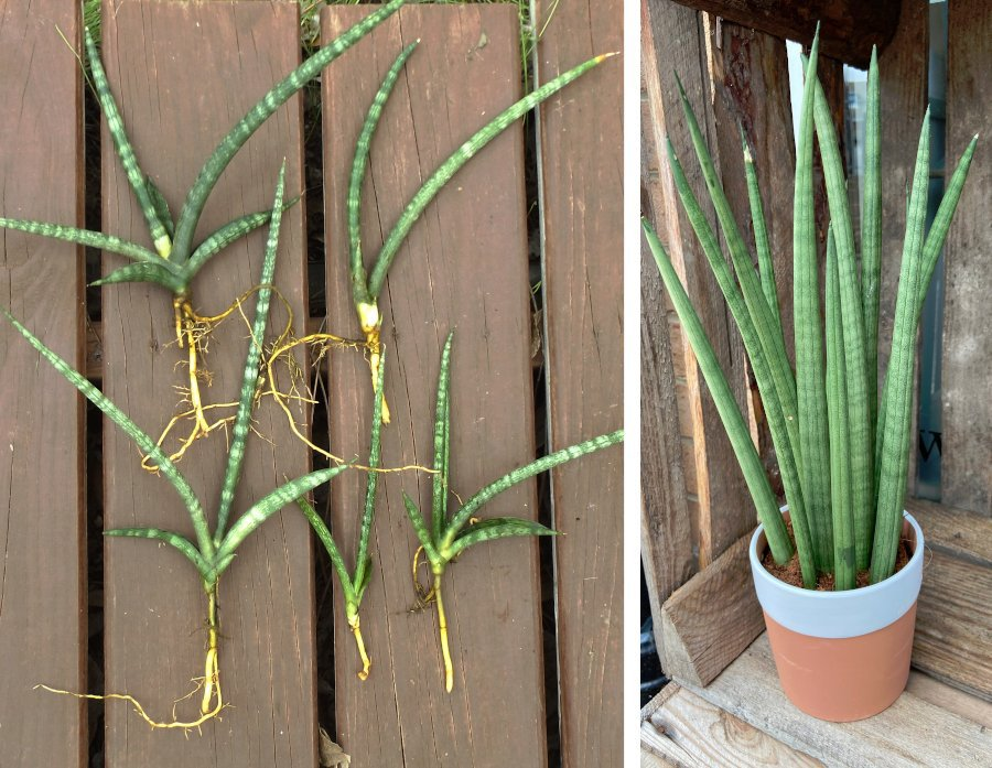 Special - Snake Plant Sansevieria Cylindrica Dragon Fingers � 5 Medium Pups