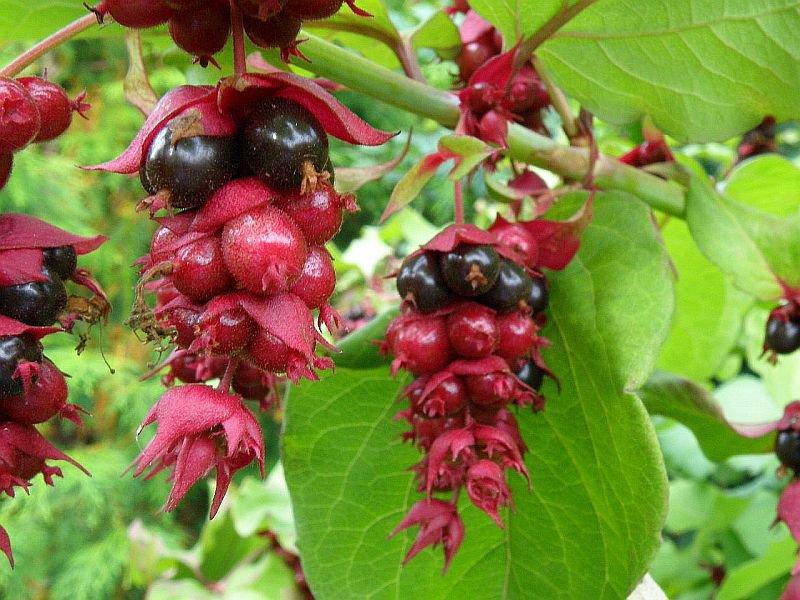 Flowering Nutmeg Pheasant Berry Shrub Perennial Honeysuckle Leycesteria formosa - 25 Seeds