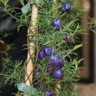 Rare Wild Tasmanian Climbing Blueberry Billardiera longiflora - 15 Seeds