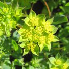 Lime Green Hare's Ear Bupleurum Rotundifolium - 50 Seeds