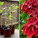 Coral Tree Cockspur Fireman Cap Erythrina crista-galli - 1 Live Rooted Starter Plant