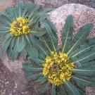 Hardy Rock Sunflower Stemless Inula Himalayan Inula rhizocephala  - 30 Seeds