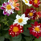Colorful Dahlia Dandy Dahlia Variabilis - 30 Seeds