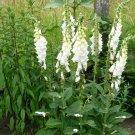 Pure White Fox Glove Digitalis purpurea albiflora - 200 Seeds
