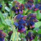 Blue Shrimp Plant Honeywort Cerinthe Major Purpurasces – 12 Seeds