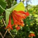 Native Hummingbird Orange Honeysuckle Vine Lonicera ciliosa - 20 Seeds