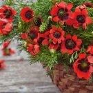 Red Summer Pheasant's Eye Adonis aestivalis - 50 Seeds