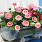English Daisy Double Mix Bellis Perennis Super Enorma - 100 Seeds