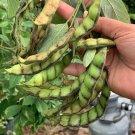 Heirloom Pigeon Pea Tree Bean Cajanus Cajan - 40 Seeds