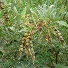 Tree Bean Pigeon Pea Heirloom Cajanus Cajan - 40 Seeds
