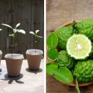 Organic Heirloom Thai Kaffir Lime Makrut Citrus Hystrix - 1 Live Starter Plug Plant