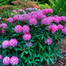 Native Pacific Rhododendron Rhododendron macrophyllum - 80 Seeds