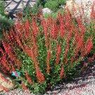 Firecracker Penstemon Scarlet Red Penstemon eatonii - 80 Seeds